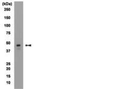 Mouse Anti-Brachyury Antibody