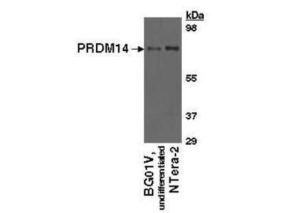 Sheep Anti-PRDM14 Antibody