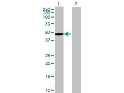 Mouse Anti-FAM80A Antibody