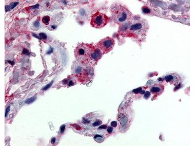 Rabbit Anti-G-Protein Coupled Receptor 43 Antibody