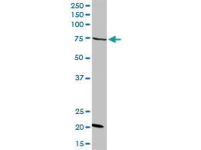 Rabbit Anti-GAS2L3 Antibody