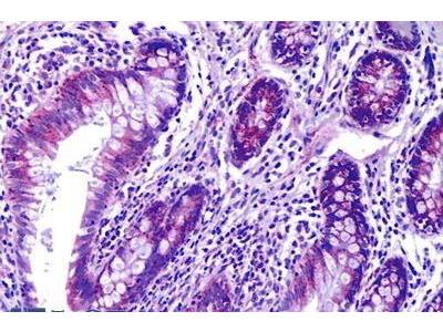 Mouse Anti-PRAGMIN Antibody