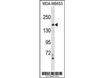 Rabbit Anti-NFKBIL2, NT Antibody