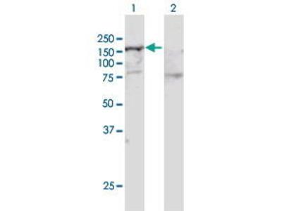 Rabbit Anti-SMARCA5 Antibody