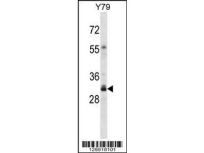 Rabbit Anti-OR4F16, NT Antibody