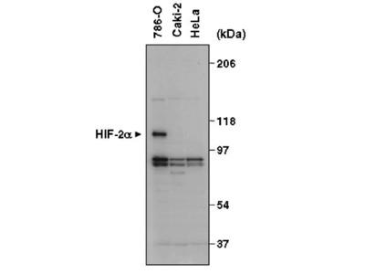 Mouse Anti-Hypoxia Inducible Factor 2a Antibody