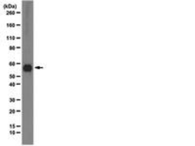Mouse Anti-Syntrophin Antibody