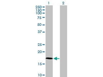 Mouse Anti-FAM107A Antibody