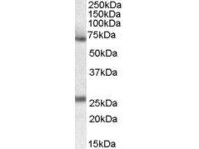 Goat Anti-SERPINF2 Antibody