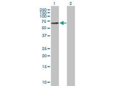 Rabbit Anti-TPA Antibody