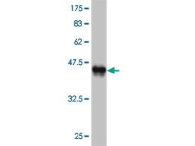 Mouse Anti-EN1 Antibody