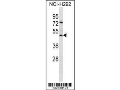 Rabbit Anti-GP2, NT Antibody