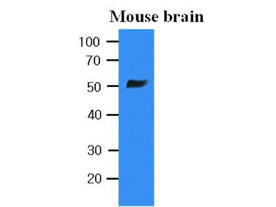 Mouse Anti-Tubulin, beta Antibody