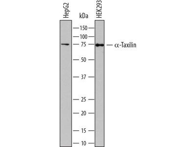Mouse Anti-Taxilin, alpha Antibody