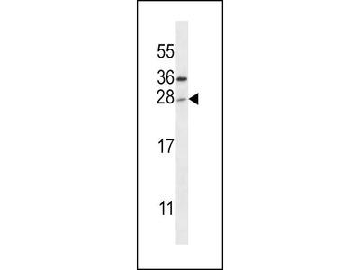 Rabbit Anti-TICAM2, NT Antibody