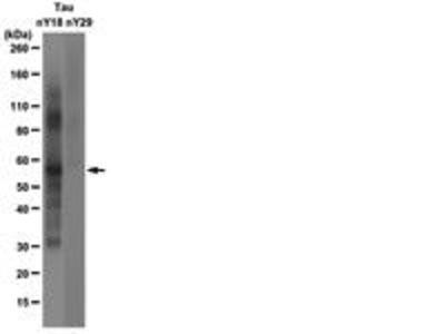 Mouse Anti-Tau, Nitrated Antibody