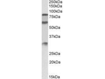 Goat Anti-Kininogen 1 Antibody