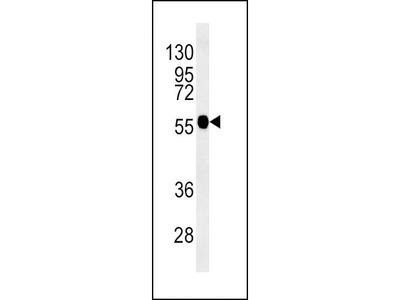 Rabbit Anti-TUBB3, NT Antibody