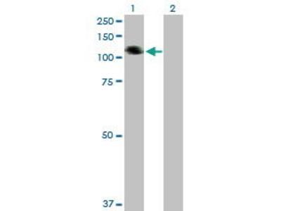 Mouse Anti-COL21A1 Antibody