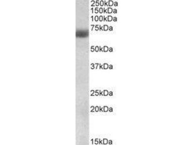 Goat Anti-NFE2L2 Antibody