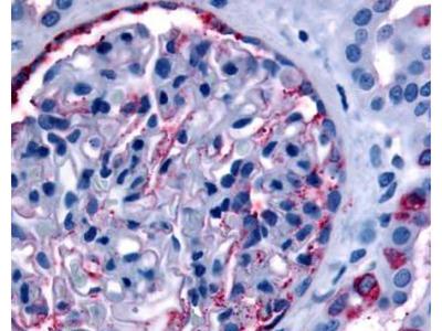 Rabbit Anti-Phosphatidylinositol Antibody