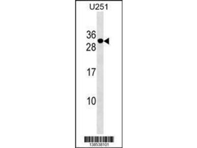 Rabbit Anti-POMZP3, NT Antibody