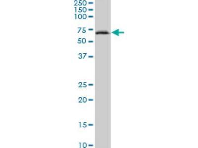 ACF Antibody