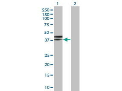 Rabbit Anti-NDEL1 Antibody