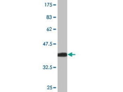 Mouse Anti-CH25H Antibody