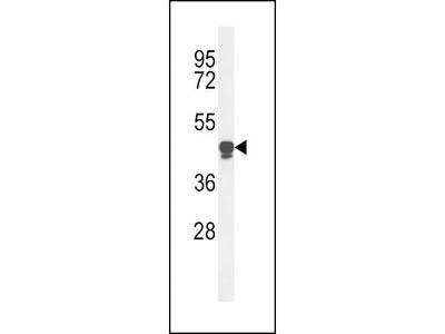 Rabbit Anti-PLA2G7, ID Antibody