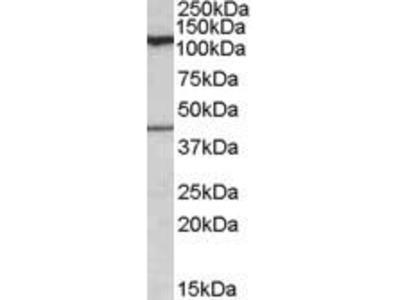 Goat Anti-COG1 Antibody