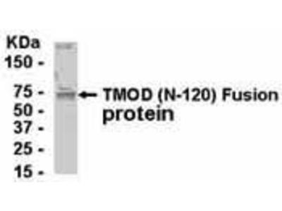 Pab Ch x human Tropomodulin 1 (TMOD) antibody