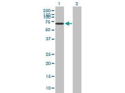Mouse Anti-NOS1AP Antibody