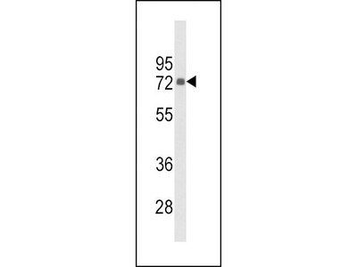 Rabbit Anti-PIP5KI gamma, CT Antibody
