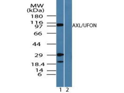 Rabbit Anti-Axl Antibody