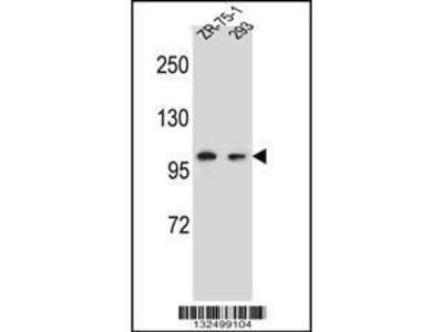 Rabbit Anti-GRIP2, ID Antibody
