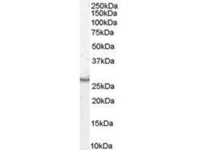 Goat Anti-VTI1B Antibody