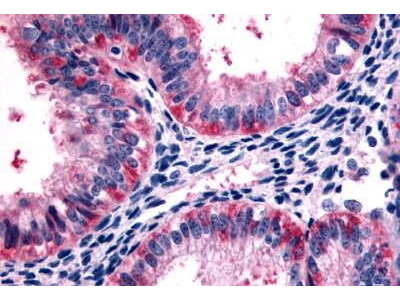 Rabbit Anti-5HT2C Antibody