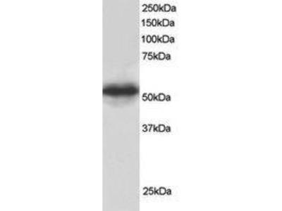Goat Anti-CSN1 Antibody