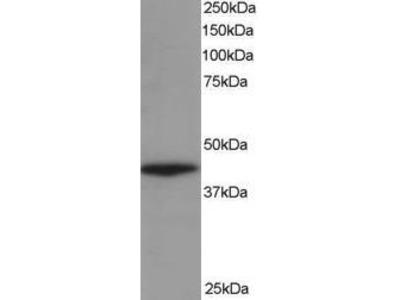 Goat Anti-ARP1 homolog A Antibody