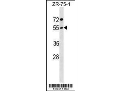 Rabbit Anti-ARCN1, ID Antibody