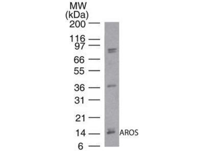 Rabbit Anti-AROS Antibody