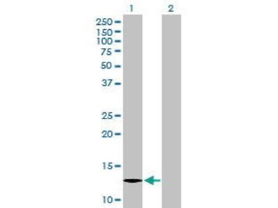 Mouse Anti-ICB1 Antibody
