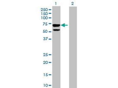 Mouse Anti-CLUL1 Antibody