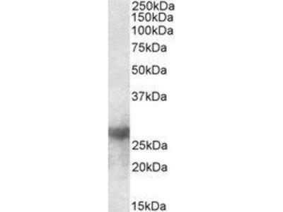 Goat Anti-Galectin-3 Antibody