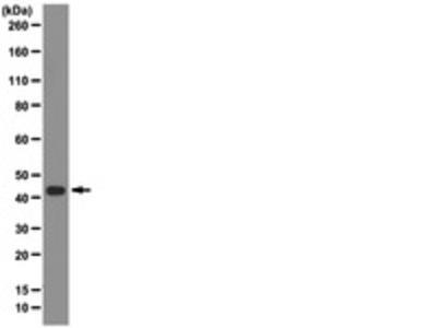 Mouse Anti-Indoleamine 2,3-Dioxygenase Antibody