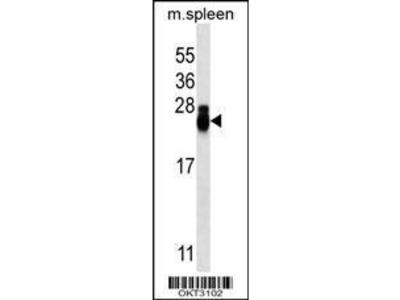 Mab Mo x mouse CD3 () antibody