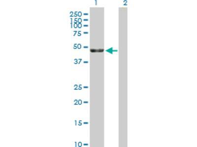 KRR1 Antibody