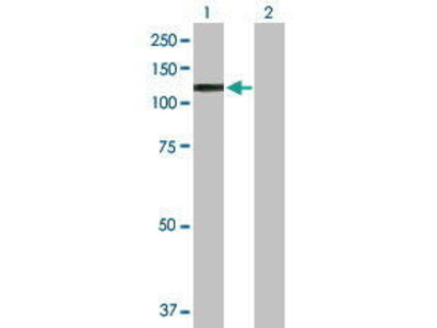 Mouse Anti-ARNT Antibody