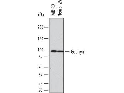 Mouse Anti-GPHN Antibody